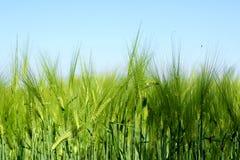 Campo di frumento verde fotografia stock libera da diritti