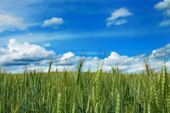 Campo di frumento verde con cielo blu nuvoloso Fotografia Stock