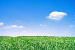 Campo di frumento verde il giorno pieno di sole Immagine Stock Libera da Diritti