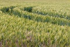 Campo di frumento verde Percorso nel prato verde del grano Paesaggio del campo del raccolto Concetto del terreno coltivabile Fotografie Stock Libere da Diritti