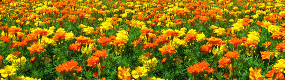Campo di giallo e dell'arancio immagini stock libere da diritti