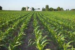 Campo di giovane cereale con l'azienda agricola nel fondo Fotografia Stock