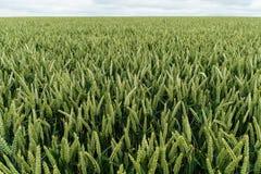Campo di giovane raccolto del grano Fotografie Stock