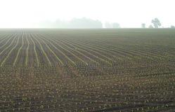 Campo di giovani piante di cereale Fotografia Stock