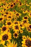 Campo di grandi fiori gialli Immagini Stock