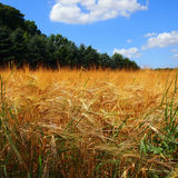 Campo di grano Immagini Stock Libere da Diritti