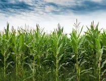 Campo di grano Fotografie Stock