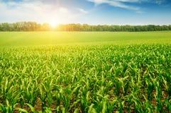 campo di grano Fotografia Stock Libera da Diritti