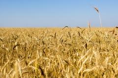 Campo di grano Immagine Stock