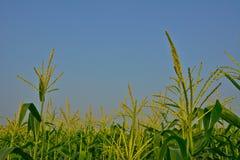 Campo di grano Immagine Stock Libera da Diritti