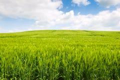 Campo di grano Fotografie Stock Libere da Diritti