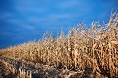 Campo di grano al crepuscolo parzialmente raccolto Immagini Stock