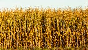 Campo di grano al tramonto Fotografia Stock Libera da Diritti