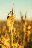 Campo di grano al tramonto Fotografia Stock