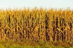 Campo di grano al tramonto Immagini Stock Libere da Diritti