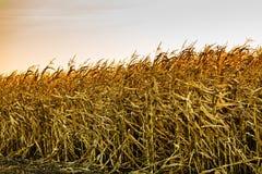 Campo di grano al tramonto Fotografie Stock