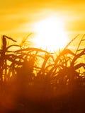 Campo di grano al tramonto giallo Immagini Stock Libere da Diritti