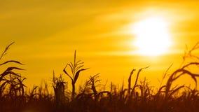 Campo di grano al tramonto giallo Immagine Stock Libera da Diritti