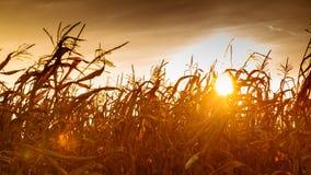 Campo di grano al tramonto giallo Fotografie Stock