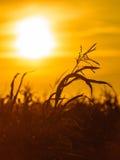 Campo di grano al tramonto giallo Immagine Stock