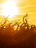 Campo di grano al tramonto giallo Immagini Stock