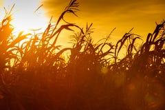 Campo di grano al tramonto giallo Fotografia Stock Libera da Diritti