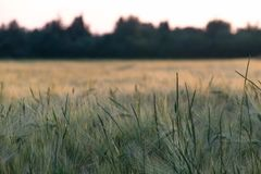Campo di grano all'ora dorata fotografie stock
