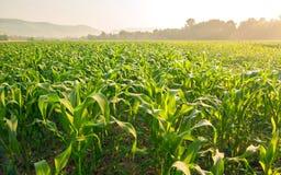 Campo di grano alla luce di primo mattino Immagine Stock