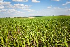 Campo di grano alla luce di primo mattino Immagine Stock Libera da Diritti