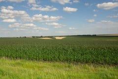 Campo di grano alla luce di primo mattino Fotografia Stock Libera da Diritti