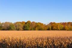 Campo di grano asciutto con gli aranci di autunno e del cielo blu su fondo Immagine Stock Libera da Diritti