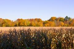 Campo di grano asciutto con gli aranci di autunno e del cielo blu su fondo Fotografia Stock