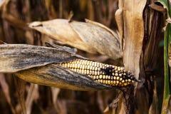 Campo di grano in autunno immagine stock libera da diritti