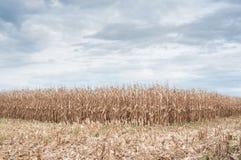 campo di grano in autunno con il fondo del cielo nuvoloso Fotografia Stock