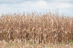 campo di grano in autunno con il fondo del cielo nuvoloso Immagine Stock