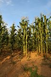 Campo di grano buon Immagini Stock Libere da Diritti