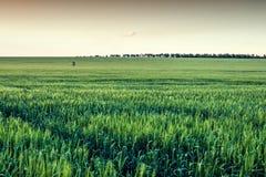 Campo di grano con il cielo marrone Immagini Stock