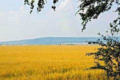 Campo di grano con la betulla Fotografie Stock Libere da Diritti