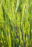 Campo di grano con lo spica Immagini Stock Libere da Diritti