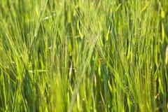 Campo di grano con lo spica Immagine Stock