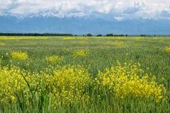 Campo di grano davanti alle montagne fotografia stock