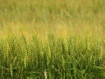 Campo di grano dell'orzo utilizzato nell'industria di agricoltura di NYS Fotografia Stock
