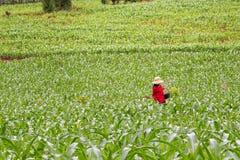 Campo di grano della piantina Fotografia Stock Libera da Diritti