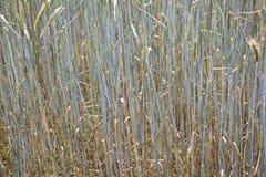 Campo di grano dettagliatamente Fotografia Stock
