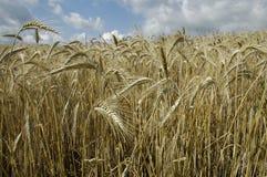 Campo di grano di estate Fotografia Stock