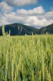 Campo di grano di maturazione Fotografie Stock Libere da Diritti