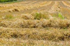 Campo di grano dopo la raccolta Fotografia Stock