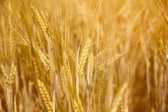 Campo di grano dorato Fotografie Stock Libere da Diritti