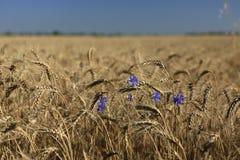 Campo di grano dorato con i fiordalisi Immagini Stock Libere da Diritti