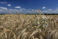Campo di grano dorato con i fiori della camomilla Immagini Stock